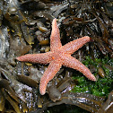 Atlantic common sea star