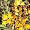 Goldenrod Sodier Beetle