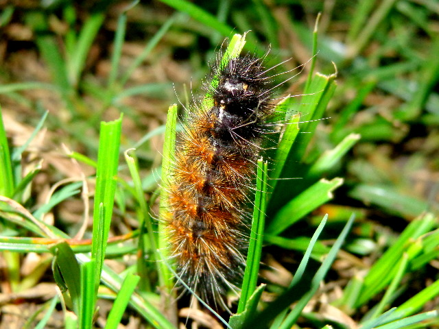 The Red hairy Caterpillar