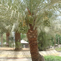 nakhla (date palm)
