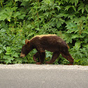 Grizzly bear (cub)