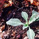 Downy rattlesnake plantain