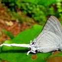 Sahyadri Common Imperial
