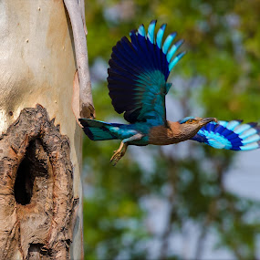 Indian Roller (Coracias Benghalensis) by Rahul Chakraborty - Animals Birds