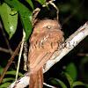 Sunda Frogmouth - Female