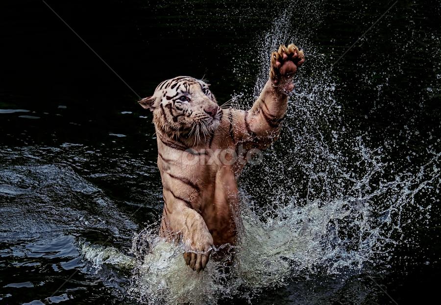 by Ubayoedin As Syam - Animals Lions, Tigers & Big Cats