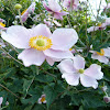 Japanese anemone / Herbst-Anemone