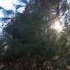 American White Pine