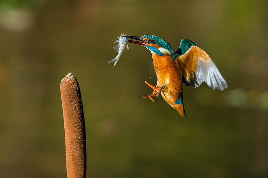 Kingfisher by Rigotti Jacopo - Animals Birds