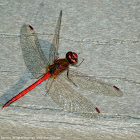 Autumn Meadowhawk dragonfly (male)