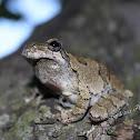 Copes Grey Tree Frog