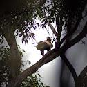 Wedge-tailed Eagle