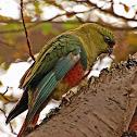 Austral parakeet/Cachaña