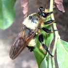 Bumblebee Mimic Robber Fly