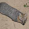 Grey Fox or Hybrid?