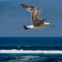 Atlantic Islands Gull