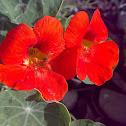 Nasturtium ( Red )