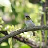 Black-fronted White-eye