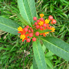 Mexican Butterfly Weed,Blood-Flower,Scarlet Milkweed