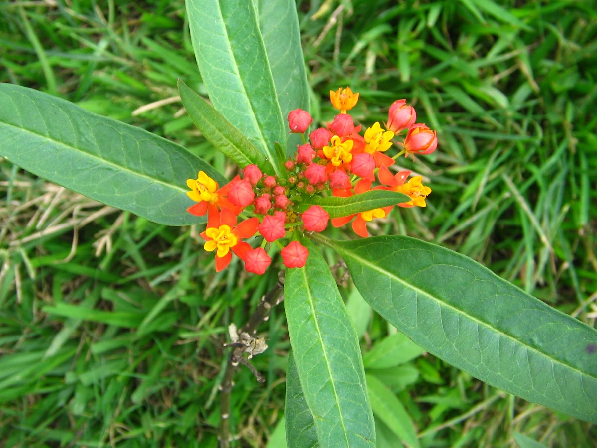 Mexican Butterfly Weed,Blood-Flower,Scarlet Milkweed