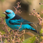 Blue dacnis or Turquoise honeycreeper