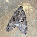 Privet Moth