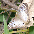 White peacock butterfly