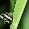 Banded bug