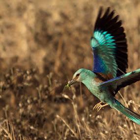 Coracias garrulus - European Roller by Ricky Papex - Animals Birds ( european roller, ghiandaia marina, birds, coracias garrulus, , bird, fly, flight )