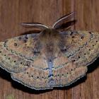 Anthela repleta Moth