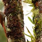 Arapaçu-escamado