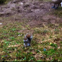 Grey squirrel