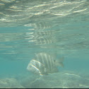 Black-Spot Surgeonfish