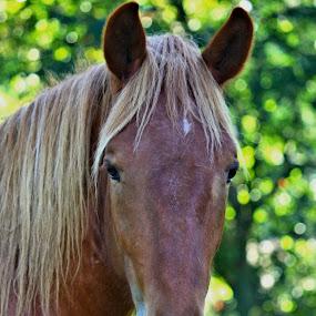 The Boss by Richard Moyen - Animals Horses ( blonde, hoarse, beautiful, boss, brown )