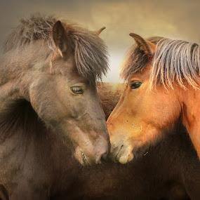 Icelandic horses by Anna Guðmundsdóttir - Animals Horses ( icelandic horses, horses, íslenskir hestar, hestar, nótt,  )