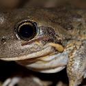 Pobblebonk; Northern Banjo Frog