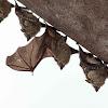 Proboscis bat