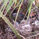 Brewer's Blackbird on Nest