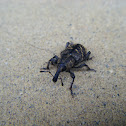 Large Brown Pine Weevil