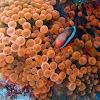 Bubble-tip anemone