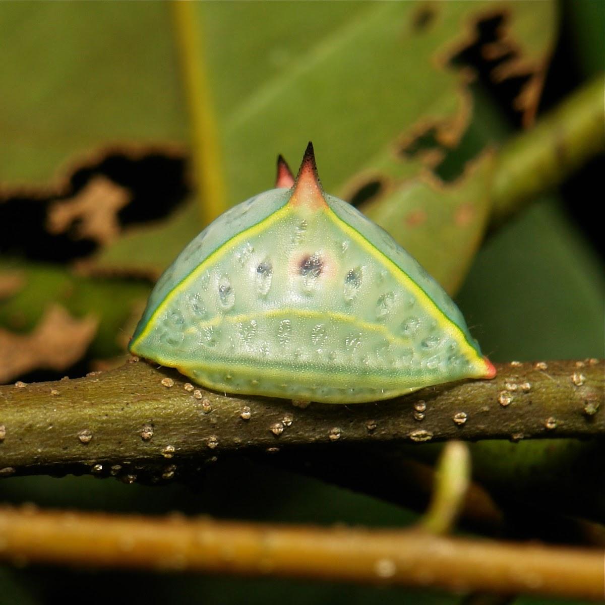 Cup Moth Slug Caterpillar