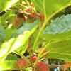 Mullberries