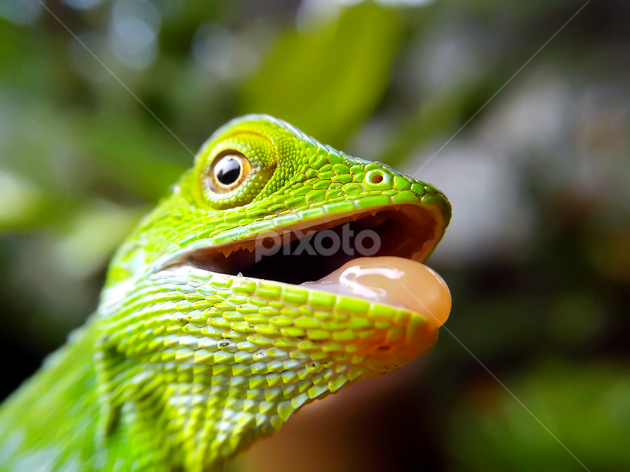 weee.... by Hendrata Yoga Surya - Instagram & Mobile Android ( bunglon, green crested lizard, funny, londok )