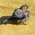 Brewer's Blackbird (Female/Juvenile)