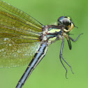 Black tigertail dragonfly