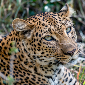 Leopard by Peter Schoeman - Animals Lions, Tigers & Big Cats (  )