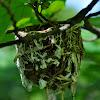 red eyed vireo nest