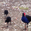 Purple Swamphen or Pūkeko