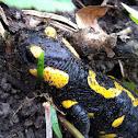 Feuersalamander (fire salamander)