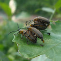 Mating Beetle